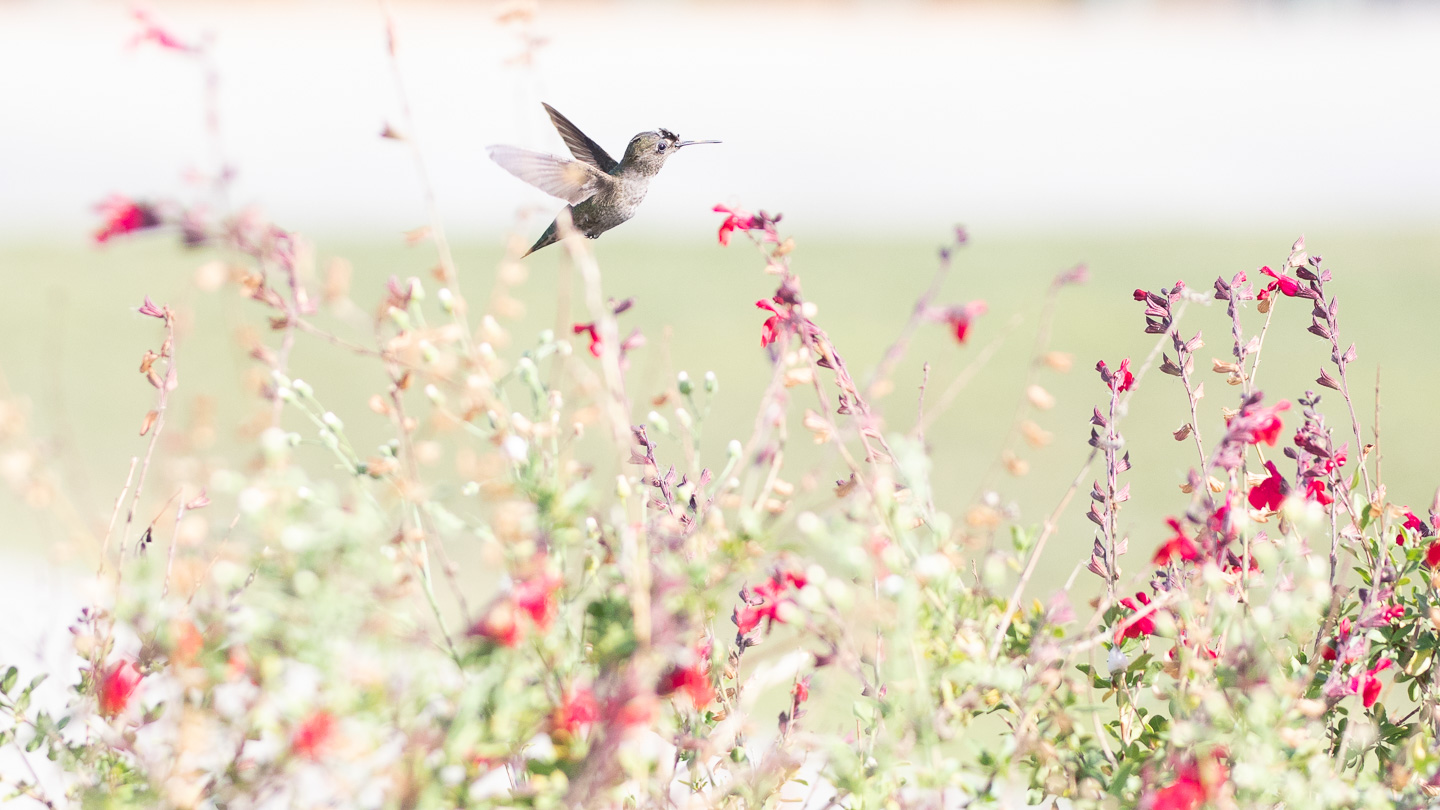 Hummingbird at Griffith Observatory yard, Los Angeles
