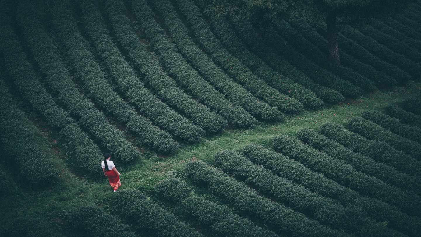 Tea plantation, Mae Salong, Thailand